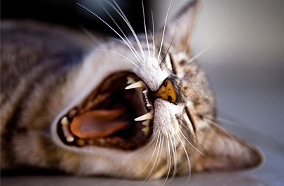 Dental Problems in cats